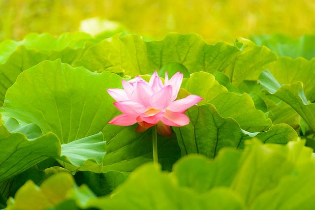 lotus grows in dirty water